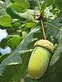 Quercus sp. - hrast 4.jpg