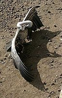 Rüppell's Vulture open wings.jpg