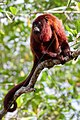 RED HOWLER MONKEY SURINAM AMAZONE SOUTH-AMERICA (32202836353).jpg