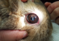 Rabbit with an eye infection caused by Encephalitozoon cuniculi.png
