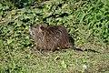 Ragondin juvénile (Myocastor coypus) (10).jpg