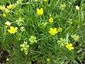 Ranunculus arvensis sl7.jpg