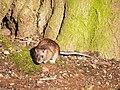 Rat, Barnett Demesne - geograph.org.uk - 1703332.jpg