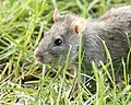 Rattus norvegicus - Brown rat 04.jpg
