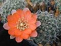 Rebutia pygmaea1h.MW.jpg