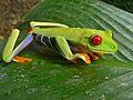 Red-eyed Tree Frog (Agalychnis callidryas) (6941168748).jpg