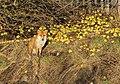 Red Fox (6697000931).jpg