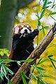 Red Panda (24677224198).jpg