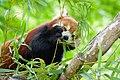 Red Panda (27961360248).jpg