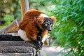Red Ruffed Lemur (50350585927).jpg
