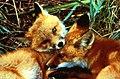 Red fox kits (5919858221).jpg