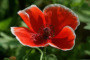 Poppy wikipedia red poppy flower mightylinksfo