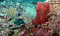 Regal Angelfish (Pygoplites diacanthus) (6133047692).jpg
