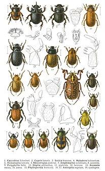 Scarabaeidae Family of beetles