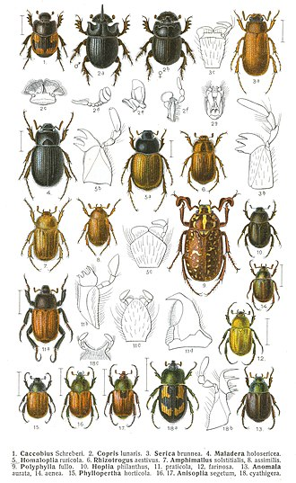 Scarabaeidae - Central European scarab beetles with some anatomical details. Edmund Reitter's Fauna Germanica, 1908