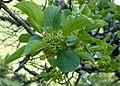 Rhamnus cathartica für Wikipedia.jpg
