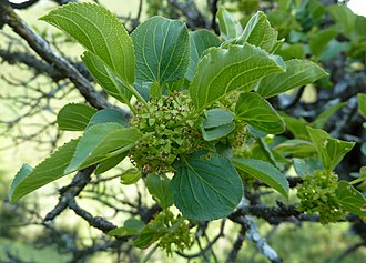 Gonepteryx rhamni - The common buckthorn, one of the larval host plants.