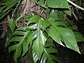 Rhaphidophora pinnata.jpg