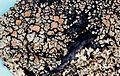 Rhizoplaca chrysoleuca-2.jpg
