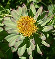 Rhodiola rosea 2 RF.jpg