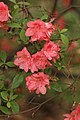 Rhododendron 'Blaauw's Pink' Flower.jpg