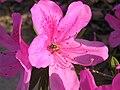 Rhododendron Flower.jpg