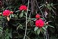 Rhododendron arboreum in Western Arunachal AJTJ.jpg