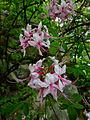 Rhododendron periclymenoides - Wild Pink Azalea 2.jpg