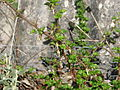 Ribes cf. californica (12744959175).jpg