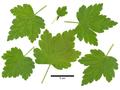 Ribes rotundifolium 233-009.png