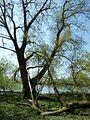 Riesiger Baum.jpg