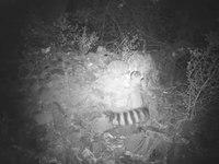 File:Ringtail (Bassariscus astutus).webm