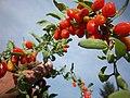 Ripe goji berries.jpg