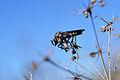 Robber Fly (Asilidae) (15148002936).jpg