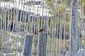Rode-rotslijster-1 (28686861246).jpg