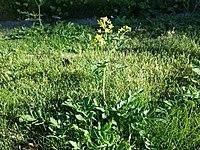 Rorippa sylvestris (s. str.) sl2.jpg
