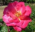 Rosa Decor Arlequin 2.jpg