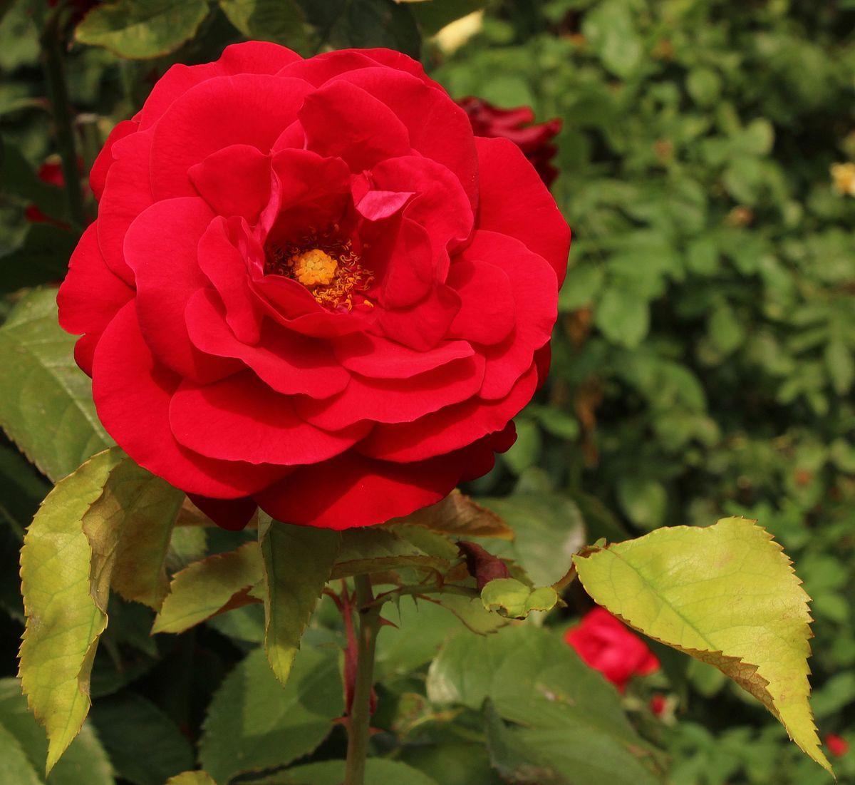 Rosa 'Europeana' - Wikimedia Commons