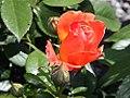Rosa Livin Easy 0zz.jpg