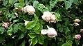 Rosa chinensis in Yerevan 08.jpg