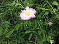 Rosa gallica sl48.jpg