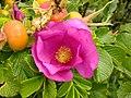 Rosa rugosa inflorescence (13).jpg
