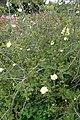 Rosa xanthina f. hugonis kz03.jpg
