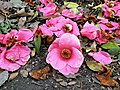 Rosales - Chaenomeles japonica - 14.jpg