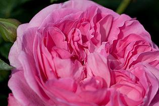 Rose, Masako(Eglantyne) - Flickr - nekonomania (2).jpg