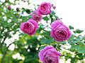 Rose. (15028653270).jpg