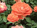 Rose from Lalbagh flower show Aug 2013 8517.JPG