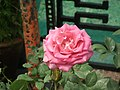 Rose from Lalbagh flower show Aug 2013 8559.JPG