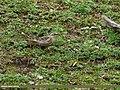 Rosy Pipit (Anthus roseatus) (27957742673).jpg
