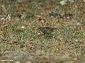 Rosy Pipit (Anthus roseatus) (33000512882).jpg
